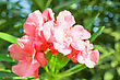 Pink Flowers At Sun Light. Flowers On Blue Sky Background stock image