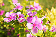 Pink Flowers At Sun Light. Spring Flowers Close Up stock photo