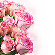 Pink Fresh Roses , Close Up stock photo