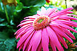 Pink Gerbera Flower Close Up Picture. stock image