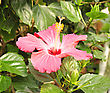 Pink Hibiscus Flower , Close Up stock photography