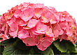 Pink Hortensia Flowers ,close Up stock photo
