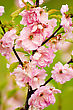 Pink Peach Flowers Background
