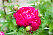 Pink Peony On Green Background stock photo