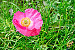 Pink Poppy On A Background Of Green Grass stock photography