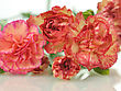Pink And Red Carnation Flowers , Close Up Shot stock photo