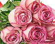 Pink Roses , Close Up stock photo