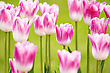 Pink Tulips Background With Blurry Depth Of Field