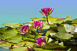 Pink Waterlilies In Pond .Flowers Card Background