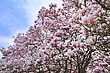 Pink And White Magnolia Flowers On A Trees