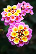 Pink And Yellow Lantana Flowers Close Up Picture.