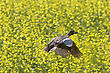Pintail Duck In Flight Against Canola Crop Canada stock image