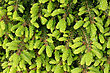 Plant Texture - The Young Shoots Of Fir stock photo