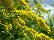 Plant With Yellow Flowers Growing By The River stock photography