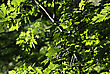 Platanus Fresh Green Leaves And Crown Illuminated By The Sun At Sunny Summer Day. stock image