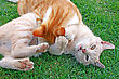 Playing Red And Tawny Cats On Green Grass stock photography