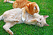 Cats & Kittens Playing Red And Tawny Cats On Green Grass stock image
