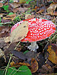 Poisonous Mushroom A Red Fly Agaric stock image