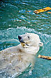 Polar Bear Enjoys A Swim In The Clear Blue Water stock image