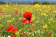 POPPIES IN RAPE FIELD HEREFORD stock photography