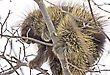 Porcupine In Tree Close Up Winter Canada stock photography