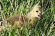 Portrait Of A Canadian Gosling Eating A Dandelion stock photo