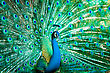 Descriptive Portrait Of Peacock With Feathers Out stock photo