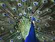Portrait Of Peacock With Feathers Out stock image