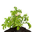 Potato With Leaves