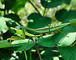 Praying Mantis On Leaves, Close Up stock photo