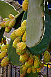 South Africa Prickly Pear, Cactus Fruit, Fresh On Cactus Tree stock photography