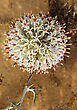 Prickly Plant, Large Globular Flower In May, Israel stock photography