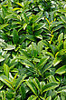 Creeping Prunus Laurocerasus, Evergreen Shrub In The Garden stock photo