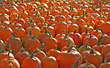 Thanksgiving Pumpkin Patch stock photo
