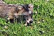 raccoon dog and his prey stock image