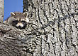 Racoon In Winter In Ontaro Canada In Tree stock image