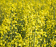 Rapeseed Field In Summer stock photography