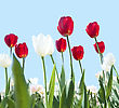 Red And White Tulips stock photography