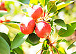 Red Apples On A Tree. Green Apple Tree Full Of Red Apples. Red Apples On Apple Tree Branch In Garden stock photography