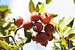 Red Apples On A Tree. Green Apple Tree Full Of Red Apples. Red Apples On Apple Tree Branch In Garden stock photo