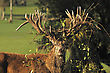 Red Deer Stag, Cervus Elephus, Tangled With Bush Lawyer Vine, In Westland, New Zealand stock photography