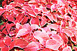 Red Flovers At Sun Light. Red Flowers Background. Red Leaves In City Garden stock photo