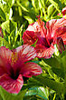 Red Flower Of Hibiscus And Green Leave Background stock photo
