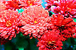 Red Flowers For Greeting Card.