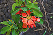 Red Flowers With Green Leaves Of A Quince On The Background Of The Brown Soil stock photo