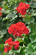 Red Garden Geranium Flowers , Close Up Shot stock image