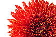 Red Georgina (dahlia) Flower Bud Isolated Over White stock image