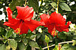 Red Hibiscus Flowers Horizontal Picture stock photography