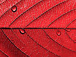 Red Leaf with Water Drops stock image