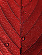 Red Leaf with Water Drops stock photography